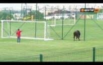 ВИДЕО: Бык прервал футбольный матч в Болгарии