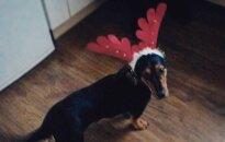 Kauniečiai, padėkime Kalėdų elniukei grįžti namo!
