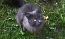 Glaustytis mėgstantis katinas ieško namų arba globos