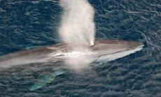 Finvalas - antras pagal dydį banginis pasaulyje, pasirodo, yra ir šlapinimosi vandenyne rekordininkas