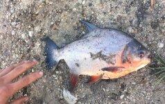 Žvejo sugauta piranija
