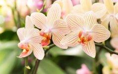 Orchidėjų ligos: prevencija, atpažinimas ir gydymas