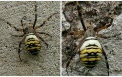 Skaitytojo klausimas: kas šis voras?