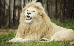 Nufilmavo, kaip liūtas zoologijos sode puola vaiką