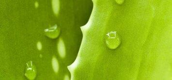 Alavijas - nepamainomas sveikatos šaltinis, kurį galite užsiauginti namuose