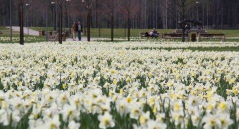 Fotografuok! Narcizų žydėjimo šventė Druskininkuose