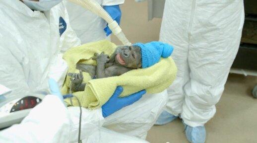 """Mažoji goriliukė gimė po cezario pjūvio operacijos <sup style=""""color: #ff0000;"""">FOTO, VIDEO</sup>"""
