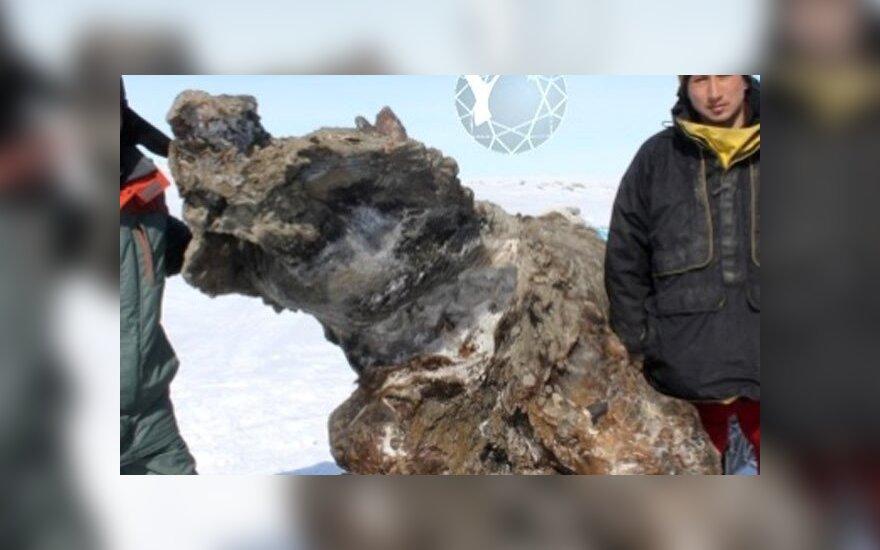 В Якутии обнаружена уникальная туша мамонта