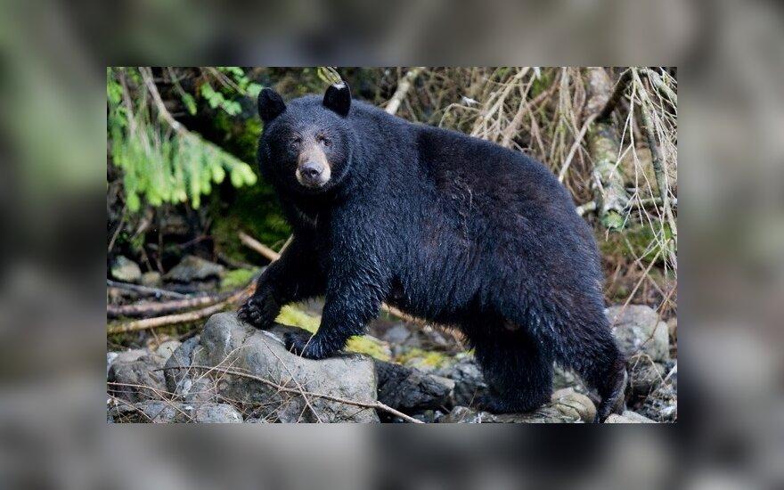 На Камчатке мужчина отбил у медведя жену