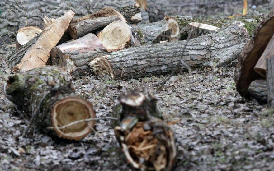 Спиленное дерево упало на лесорубов