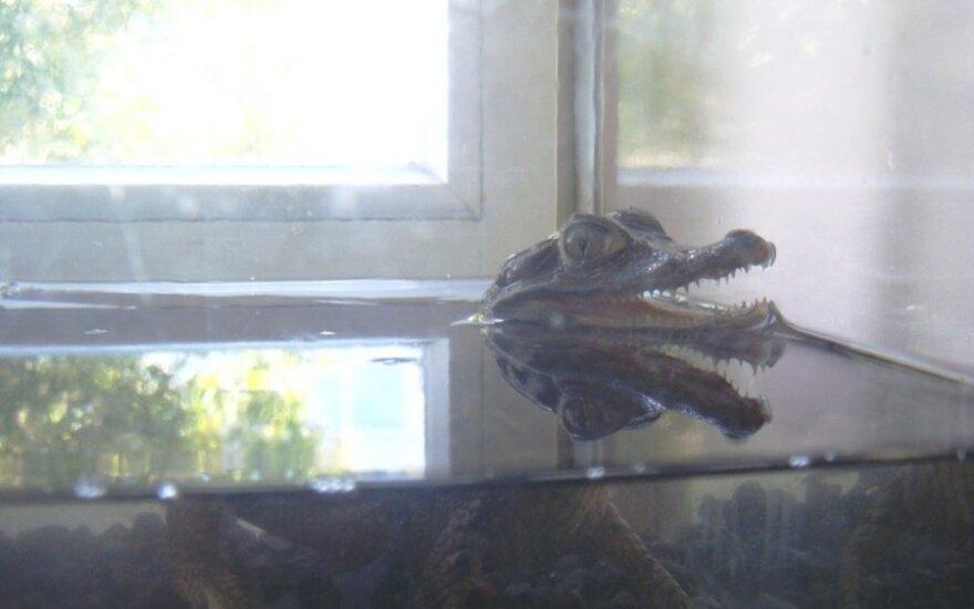 Iš kauniečio konfiskuotas krokodilas