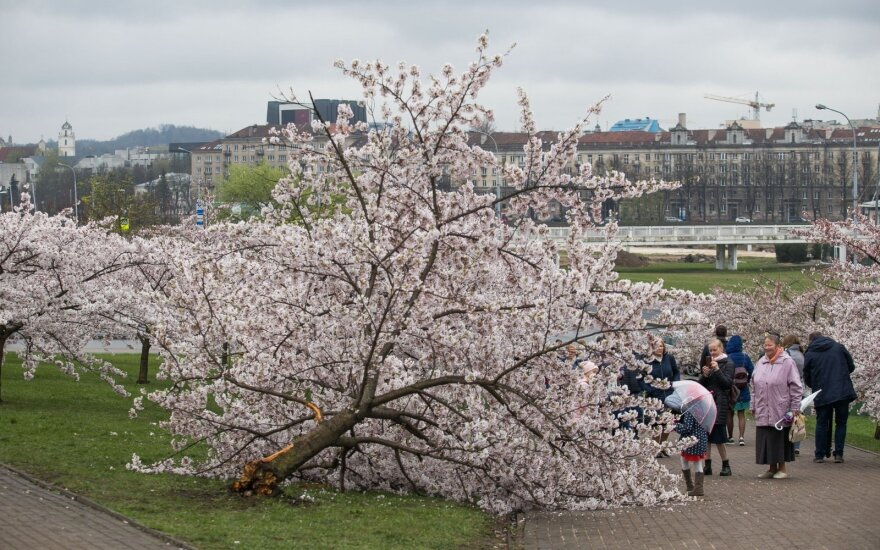 В пасхальное утро жители Вильнюса обнаружили повреждённые сакуры