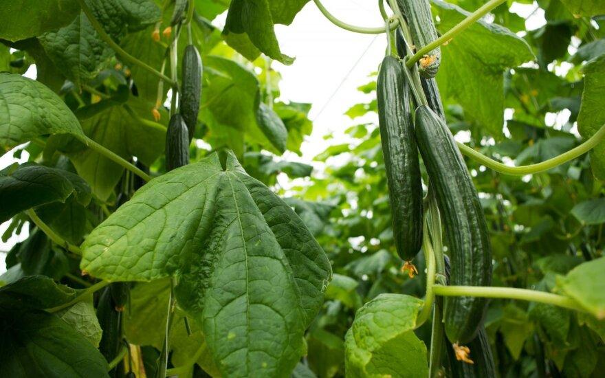 Žiemą Lietuvoje užauginti agurkai – ne kalėdinis stebuklas