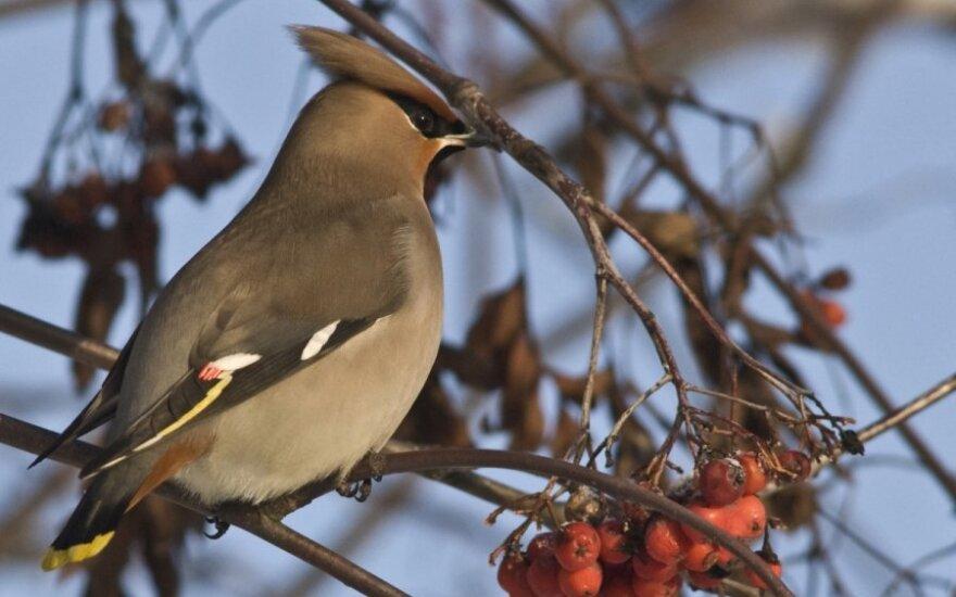 Svirbelis (Bombycilla garrulus). Varnėno dydžio, kuoduotas, rusvas. Į Lietuvą atlekia žiemoti. Gerklė, juostelė prie akių, sparnų plunksnos, uodega juodi. Pats uodegos galas ryškiai geltonas. Lesyklose retas. Lesa sėklas, obuolius, uogas