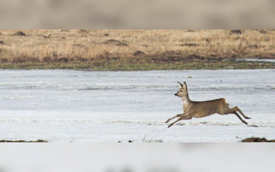 У Игналинской АЭС собаки охотятся на косуль