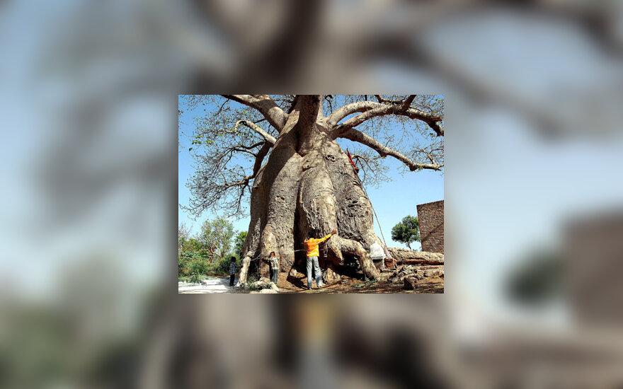 Baobabas