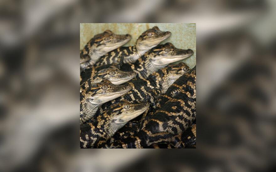 Dviejų mėnesių aligatoriukai