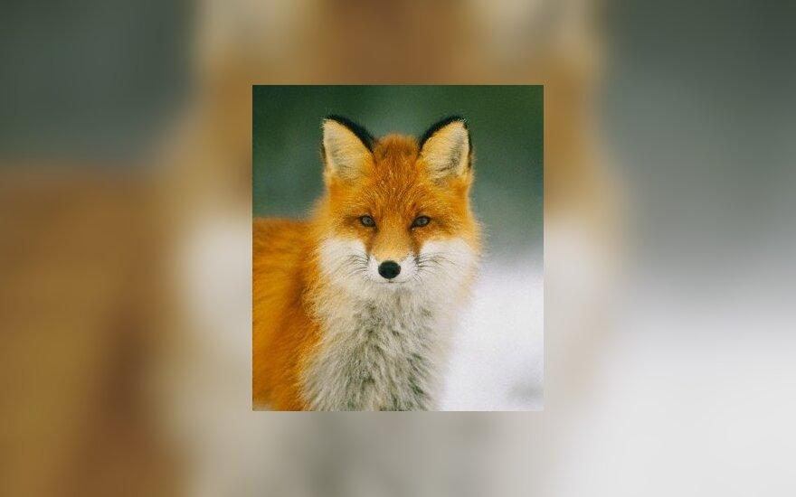 В Беларуси лиса выстрелила в охотника из ружья