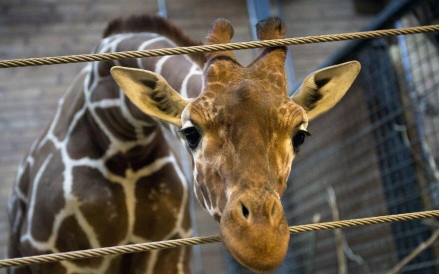 Czeczenia może przygarnąć duńską żyrafę