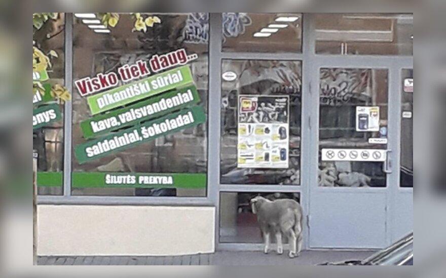 Po Šilutę klaidžiojusią avį ypač sudomino parduotuvės vitrina