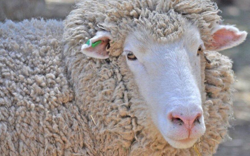 Merinosų avis