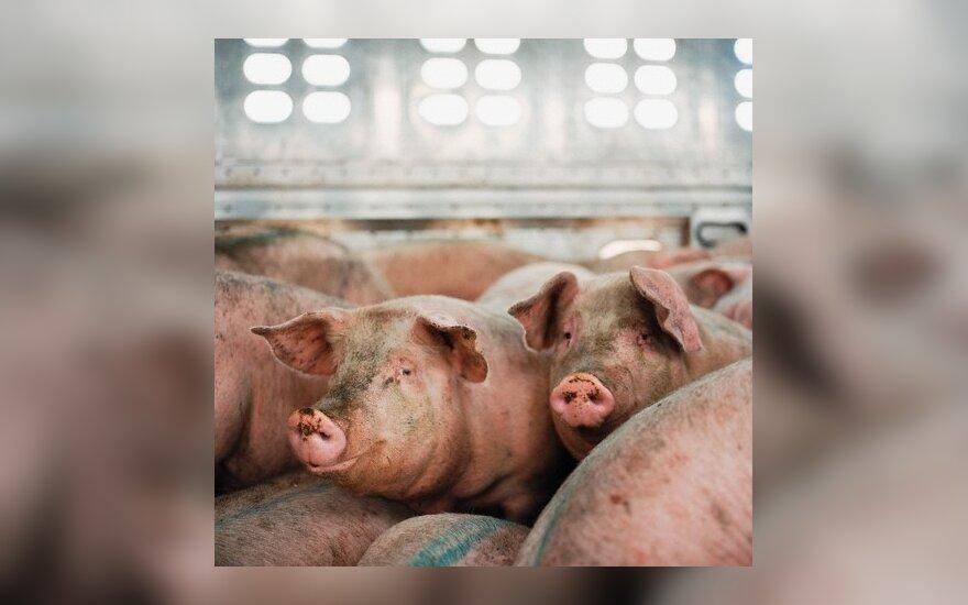 С четверга возобновят экспорт литовских свиней и свинины