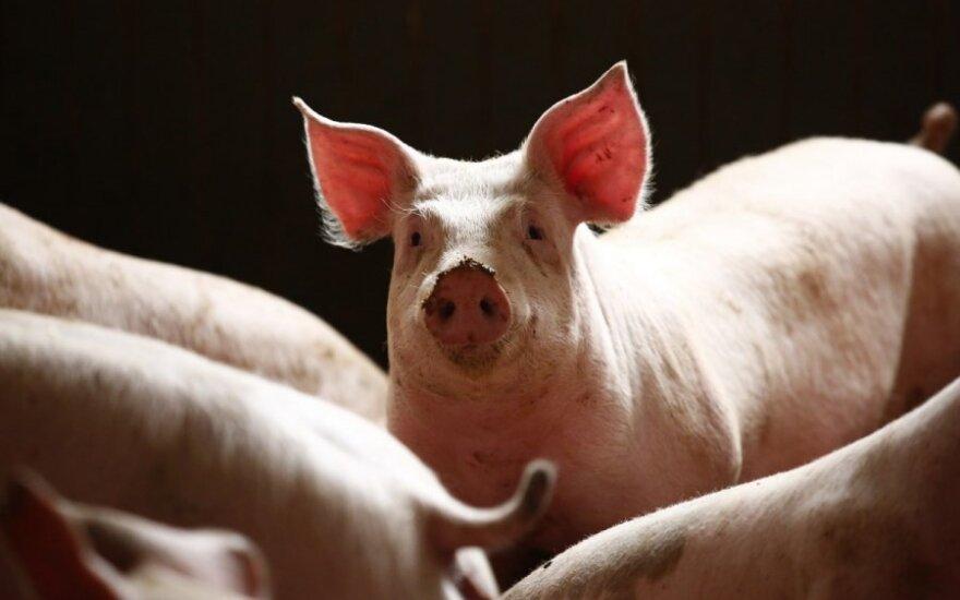 Генная инженерия сделает свиней донорами органов для человека