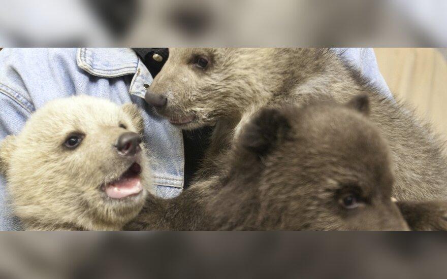 В зоопарке Northwood Zoo родились медвежата