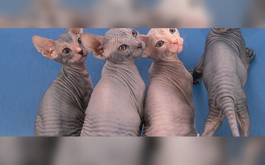 Вымирание саблезубых кошек не связано с голоданием
