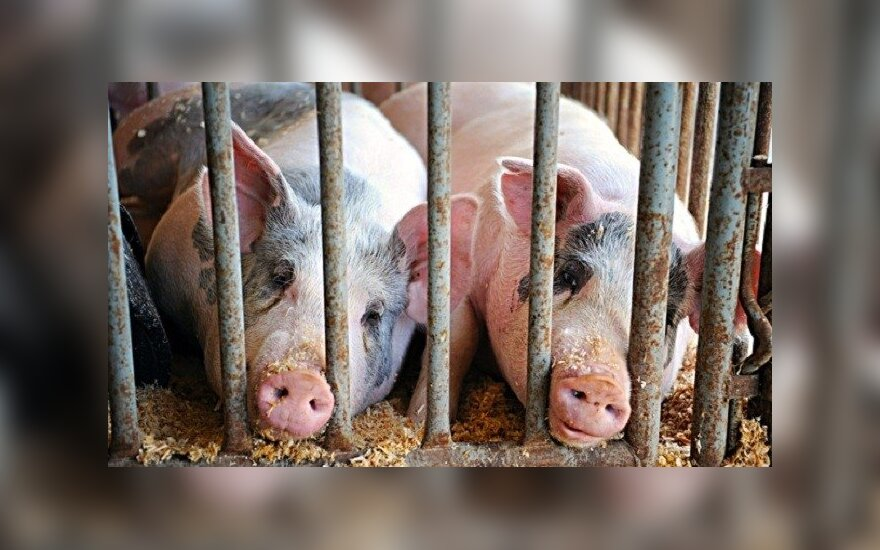 Ярошук: очаги африканской чумы свиней в Беларуси существуют уже 3 года