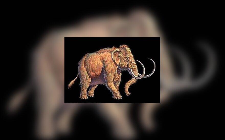 Экскаваторщик нашел бивень мамонта возрастом 2 млн. лет