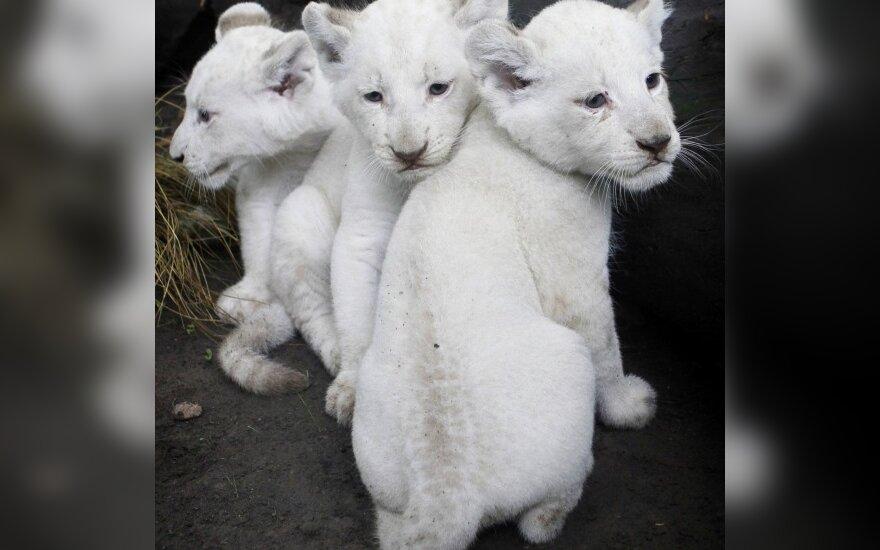 Три белых львенка в зоопарке Буэнос-Айриса