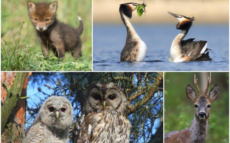 Gyvūnai šiuo metu kaip tik moko jauniklius išgyvenimo subtilybių (Virginijos Žilinskienės, Sauliaus Virbilos, Renato Jakaičio, OIego Stepanko nuotr.)