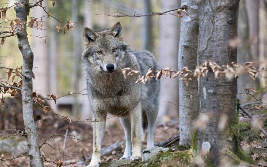 На пастбищах волки учат волчат охотиться