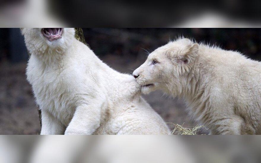 Выводок редких белых львов в Нидерландах