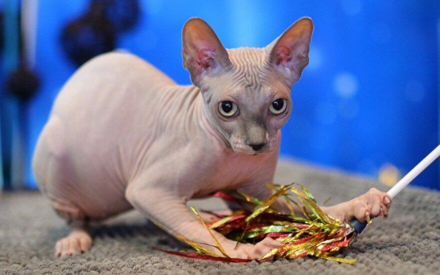 Канадка купила побритого кота по цене сфинкса