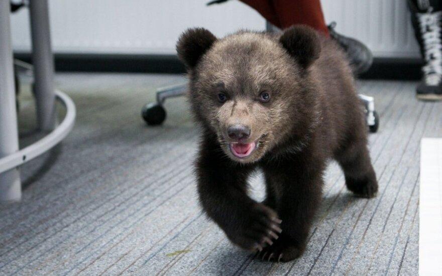 Rosja: Policja aresztowała niedźwiadka
