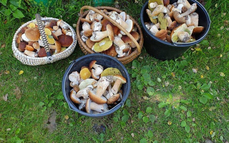 """В Литве грядут """"грибные"""" выходные: рыночные торговцы рассказали, где грибов больше всего"""
