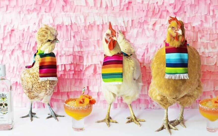Курицам покупают подгузники и нанимают поваров: американцы от них без ума