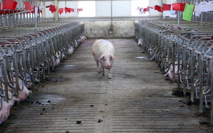 Lietuvoje kiaulės marinamos specialiomis dujomis