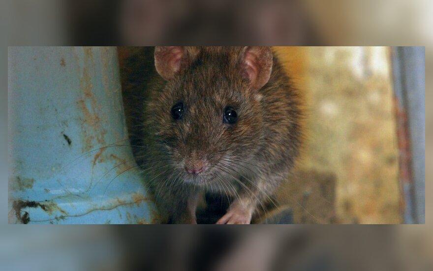 Žiurkė tualete