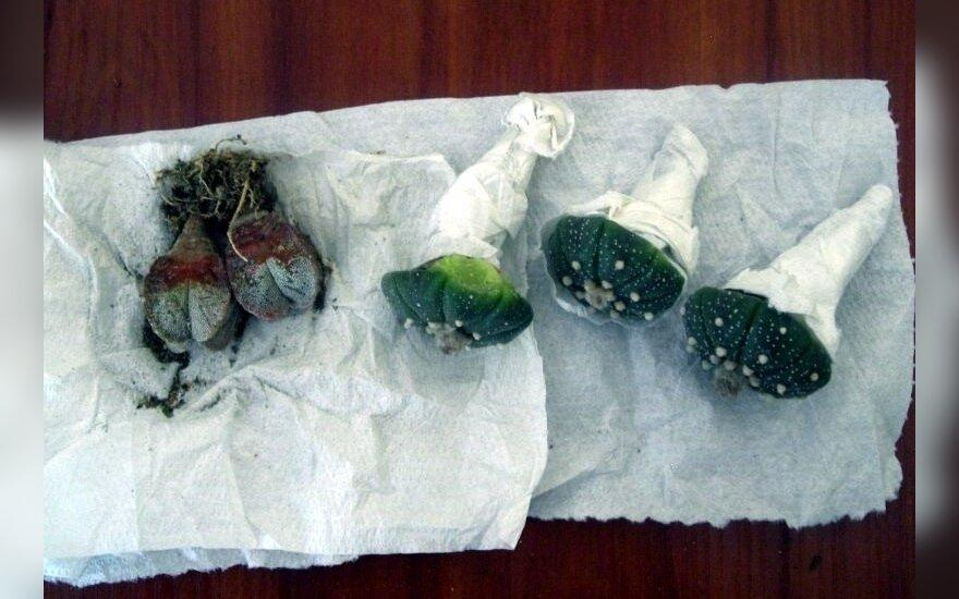 Nykstančių kaktusų siunta neprasmuko pro kinologų kontrolę