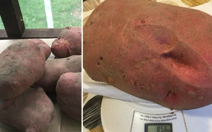 Gigantiška bulvė