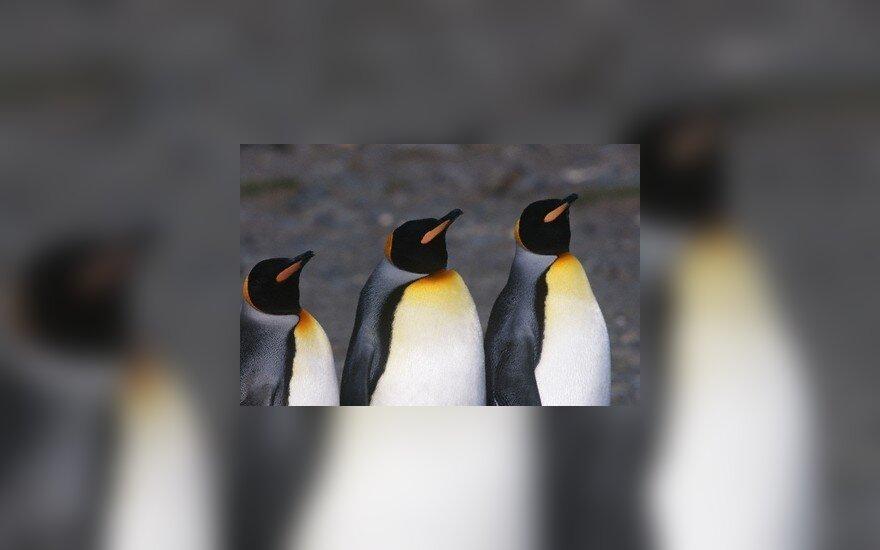 Консерваторов назвали пингвинами, Кубилюса раскритиковали