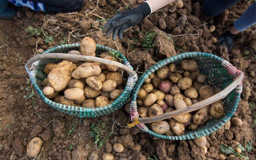 Свежий литовский картофель уже на прилавках, но цены не радуют