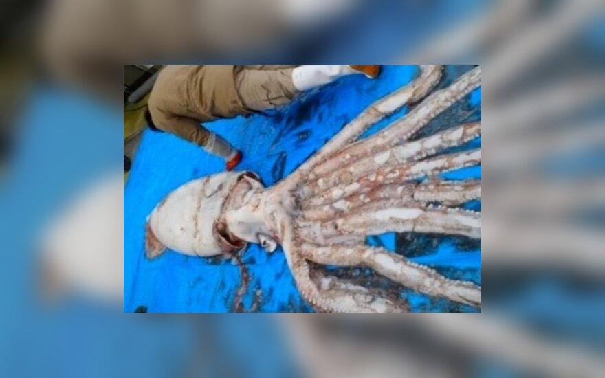 Японские рыбаки выловили гигантского кальмара