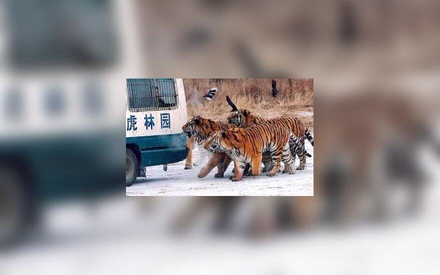 Kinijoje esančio Heilongdžango Sibiro tigrų parko gyventojai eina paskui automobilį, vežantį jiems maistą. Sibiro tigrai yra viena iš 10 labiausiai nykstančių gyvūnų rūšių – laisvėje jų gyvena vos 400.