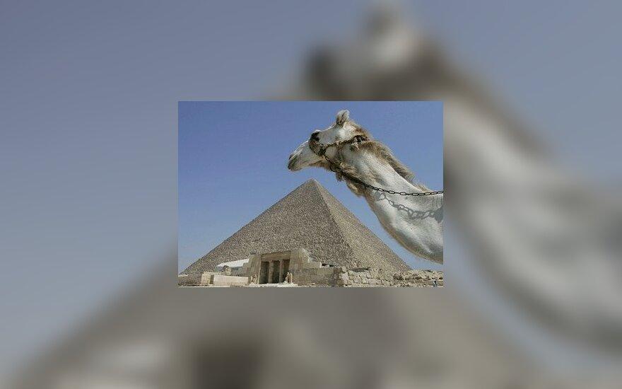 Kupranugaris šalia Gizos piramidės Egipte.
