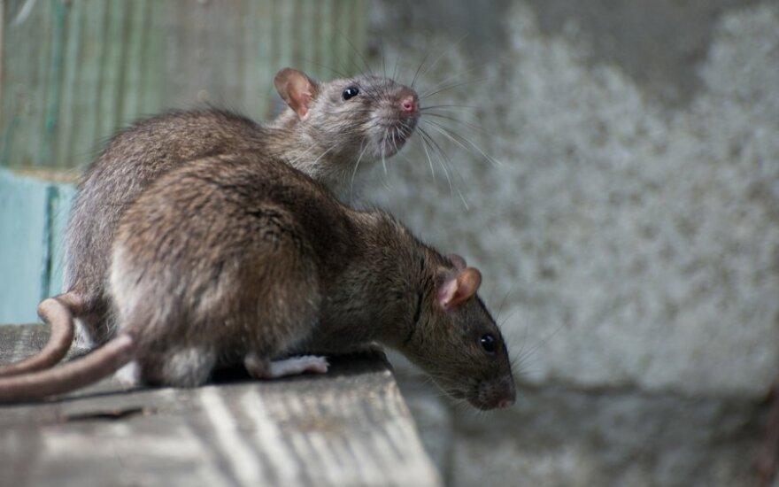 Didžiojoje Britanijoje greitai daugumos žiurkių bus neįmanoma nunuodyti