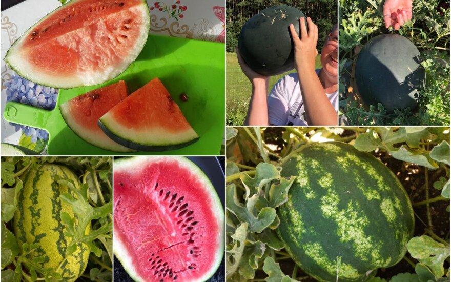 Lietuvoje užauginti arbūzai